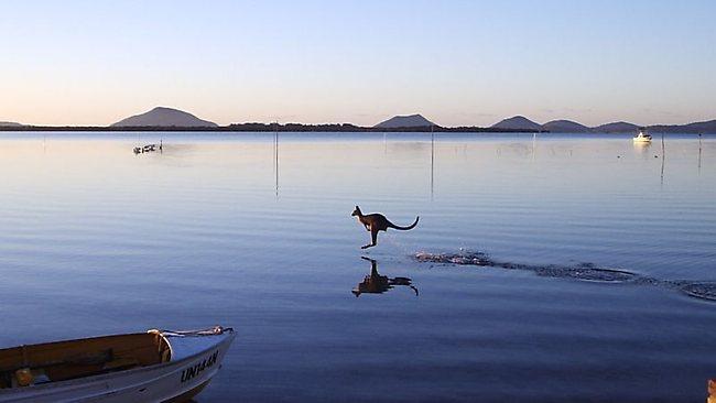 Kangaroo On Water